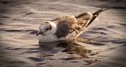 8th Jan 2018 - Seagull, Taking a Swim!