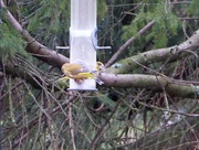 9th Jan 2018 - Do Two parts Make One Whole Greenfinch?