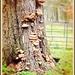 Oak and fungi