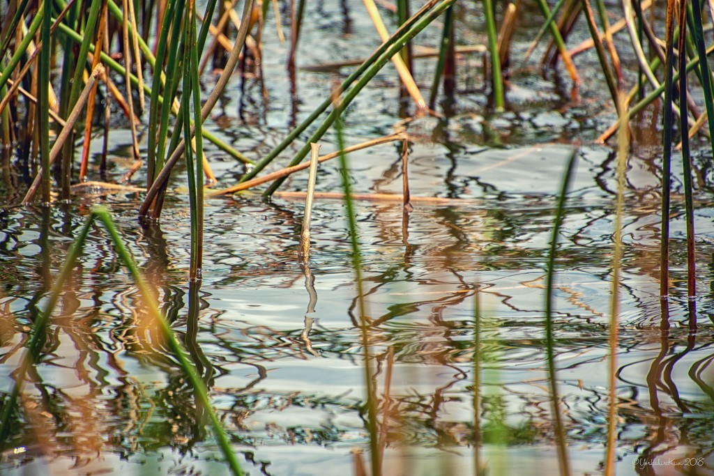 reed reflections by yorkshirekiwi