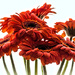 Rainy Day Gerbera Daisys by 365karly1