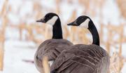 6th Jan 2018 - geese