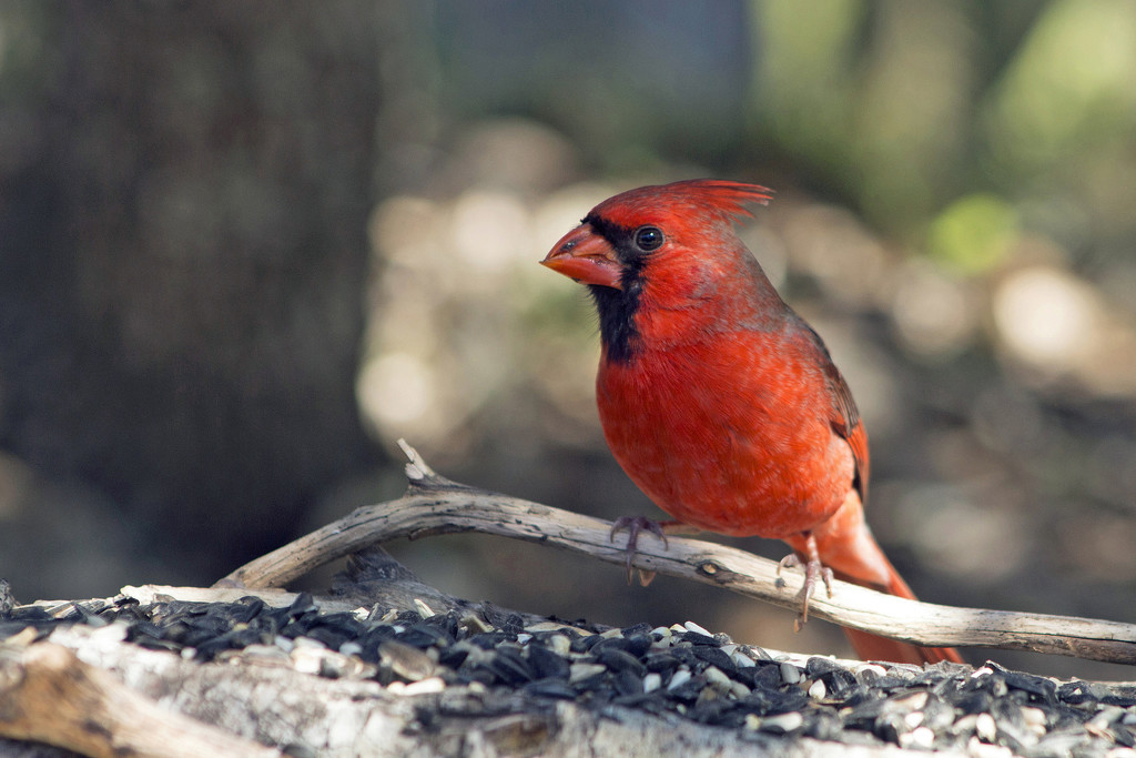 Not Just Any Old Mr. Cardinal by gaylewood