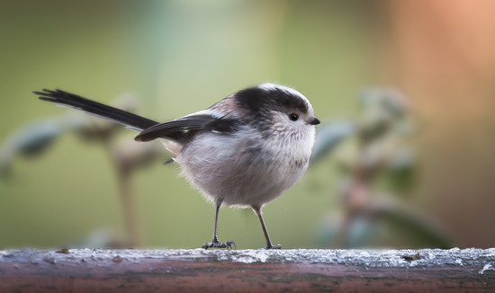 Long Tail Tit by shepherdmanswife