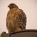 Red Shouldered Hawk on the Light Pole! by rickster549
