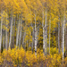 Finding Shelter In The Beauty of The Aspens