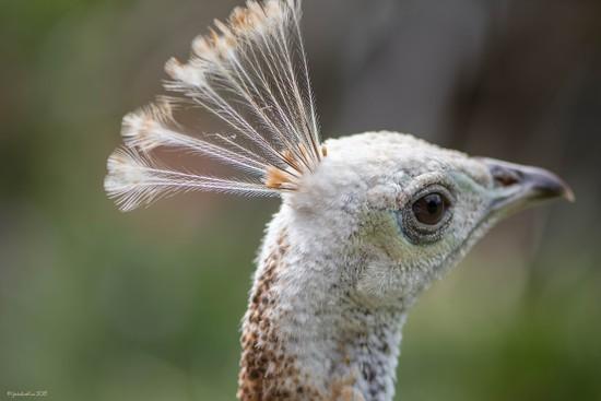 White peacock by yorkshirekiwi