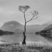 'The' Buttermere Tree