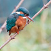 Female Kingfisher hunting for fish by padlock