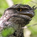 So Why Are They Called a Frogmouth?