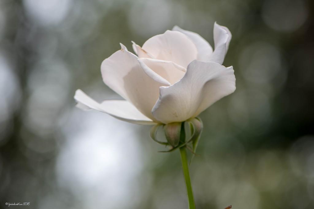 White Rose by yorkshirekiwi