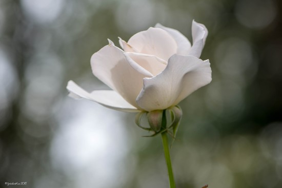 White Rose by yorkshirekiwi