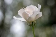 12th Jan 2018 - White Rose