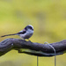 Long Tailed Tit by pamknowler