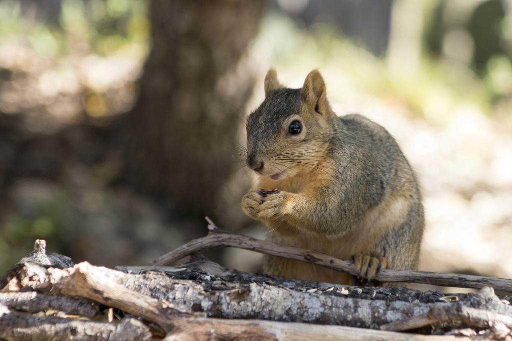 Smiley Squirrel by gaylewood