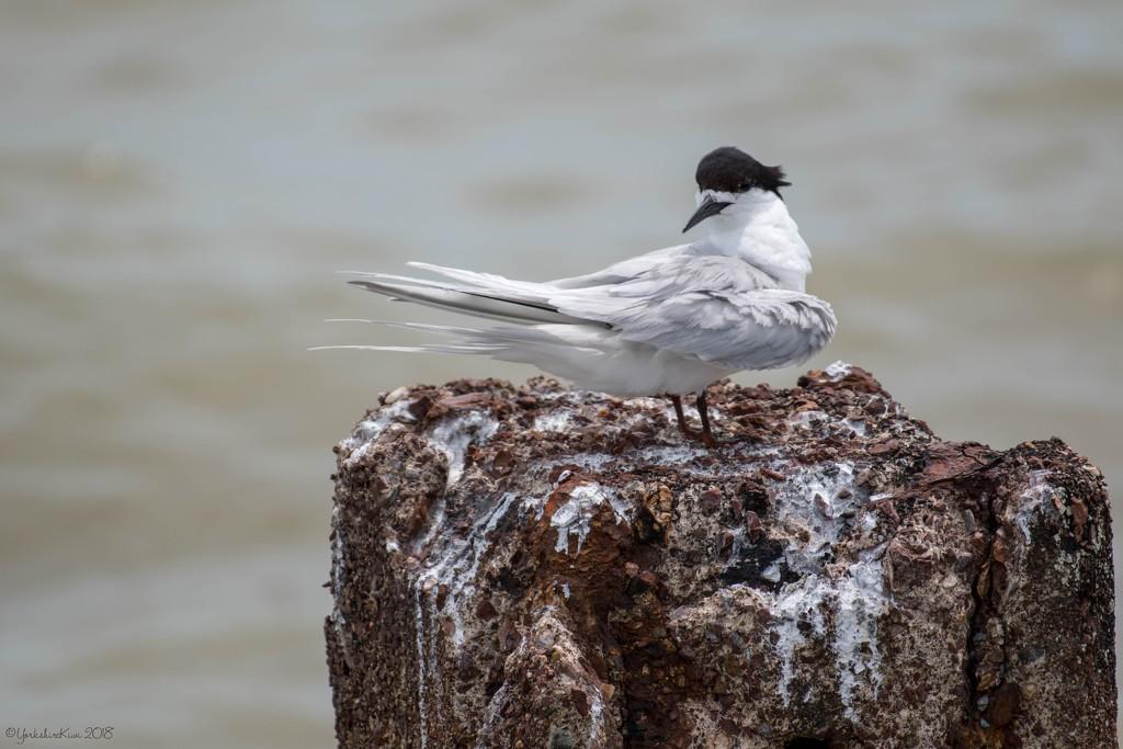Tern by yorkshirekiwi