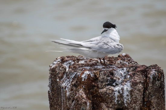Tern by yorkshirekiwi