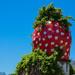 Strawberry season in full swing .....