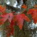 Late Autumn maple leaf color with Spanish moss