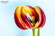 13th Jan 2018 - Withered tulip