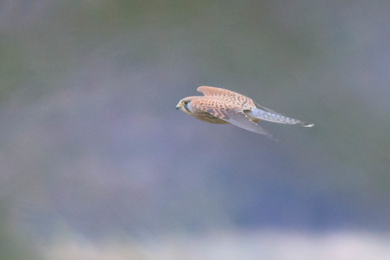 Female Kestrel in glide mode by padlock