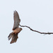 Female Kestrel in landing mode!!
