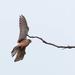 Female Kestrel in landing mode!!