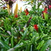 Our Garden 3 - The  Bromeliads Have Taken Over