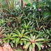 Our Garden 4 - The  Bromeliads Have Taken Over