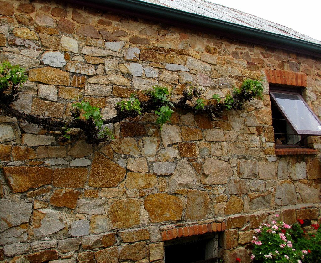 My eye was attracted to this grape vine creeping along to the window by 777margo