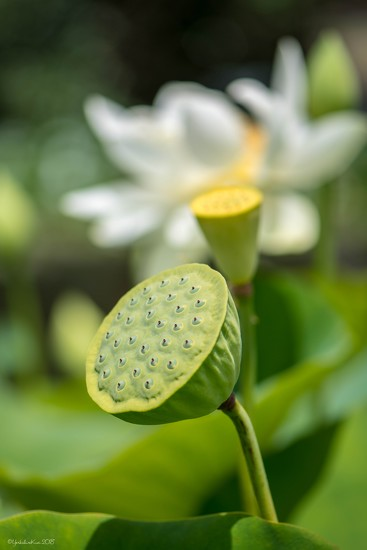 Lotus Lily by yorkshirekiwi