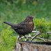 Mrs. Blackbird.