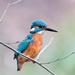 Male Kingfisher-frame filler by padlock