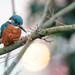 Kingfisher & Bokeh