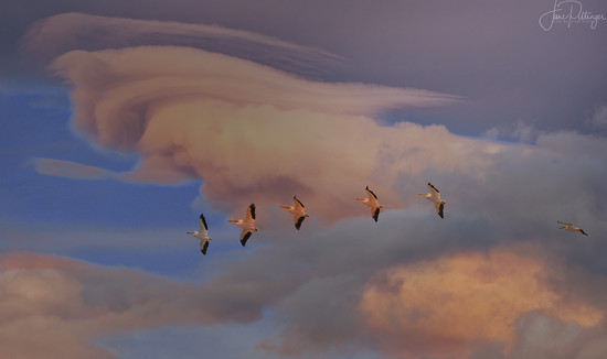 White Pelicans Flying In Patagonia Sky by jgpittenger