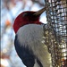 Red Headed Woodpecker at the Suet Feeder by olivetreeann