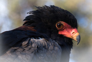 13th Jan 2018 - Bateleur