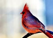 13th Jan 2018 - Cardinal