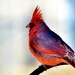 Cardinal by lynnz