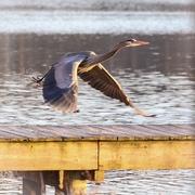 14th Jan 2018 - Blue Heron