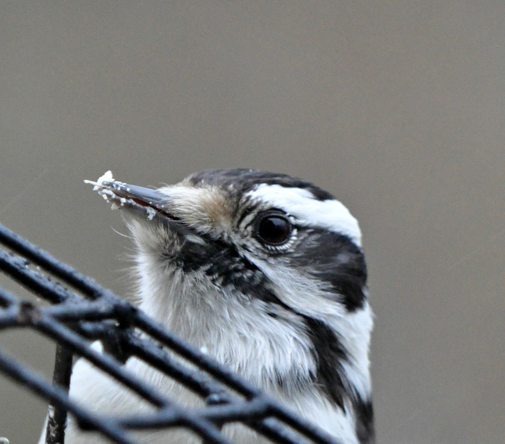 Female downy woodpecker enjoying the suet this morning. by sailingmusic