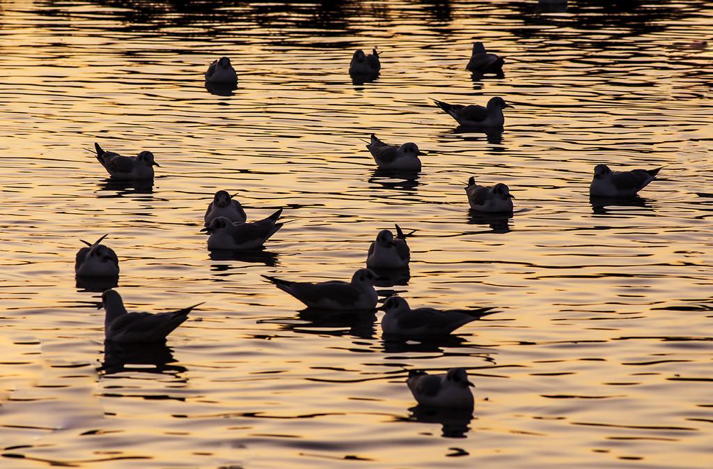 Gulls At Sunset by davidrobinson