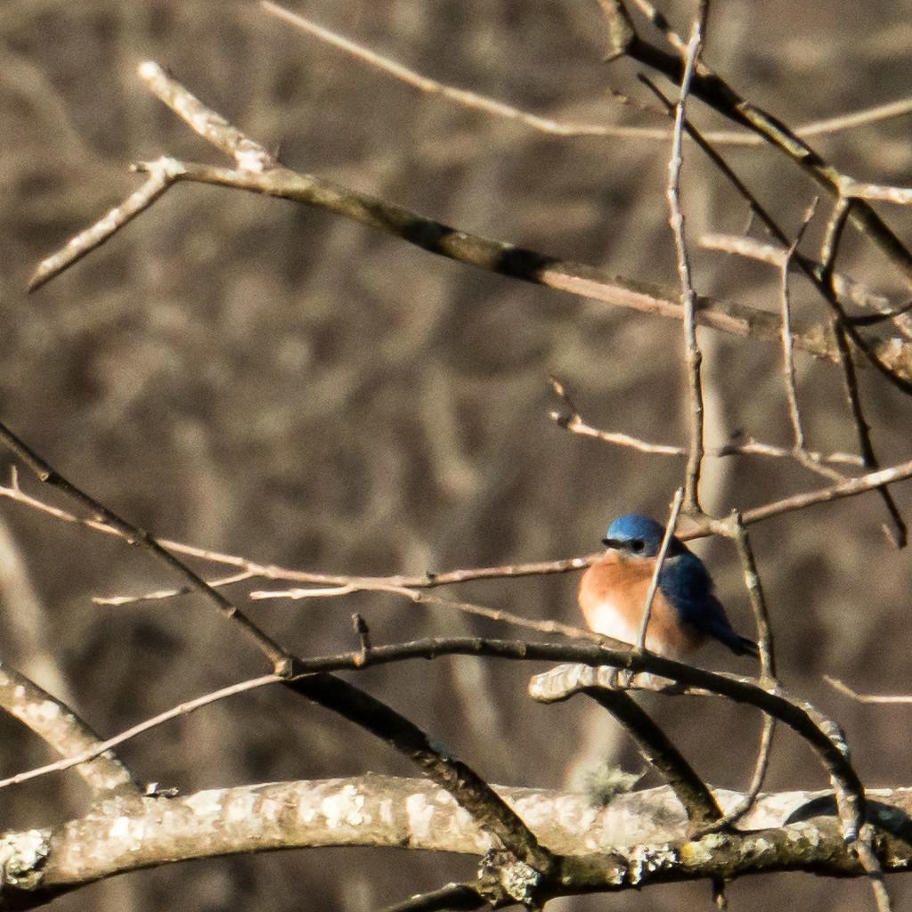 G'Morning, Bluebird by randystreat