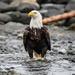 Beach Eagle
