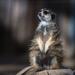 The Mona Meerkat
