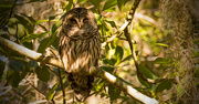 15th Jan 2018 - Another Sleepy Owl!