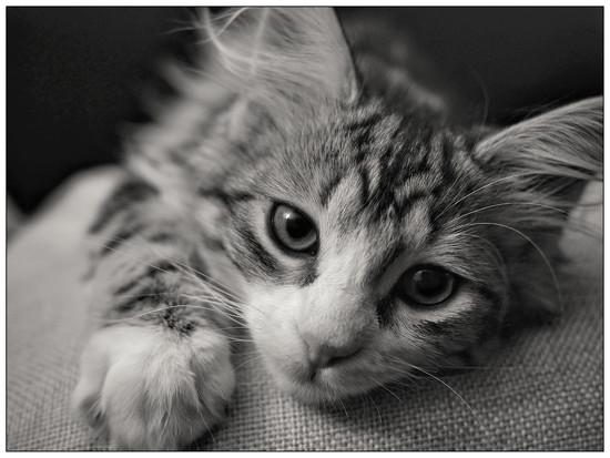 Keeffer Kat by aikiuser