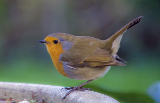 ROB The Robin. by tonygig