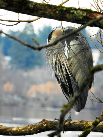Napping Blue Heron by seattlite