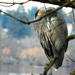 Napping Blue Heron